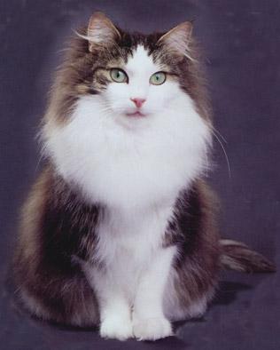 Норвежская лесная кошка была официально признана